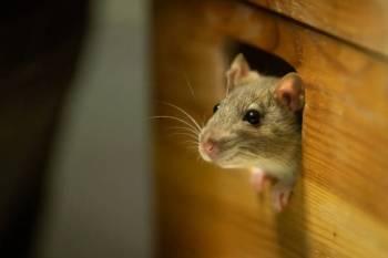 Significado do Totem Animal do Espírito do Rato