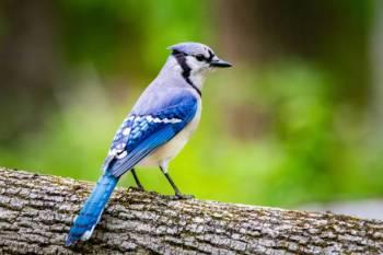 Gaio-azul – Espírito Animal, Totem, Simbolismo e Significado