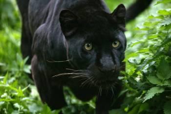 Significado animal do espírito da pantera