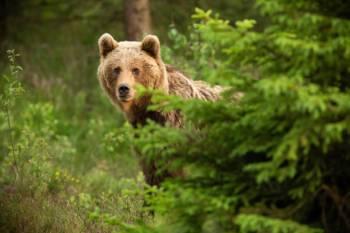 O que os ursos simbolizam, como um espírito animal
