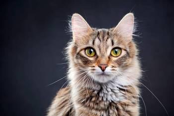 Simbolismo, significado e o animal do espírito do gato