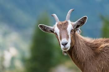 Significados de cabra, simbolismo e o espírito animal de cabra