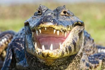 O Animal Espírito Jacaré / Crocodilo
