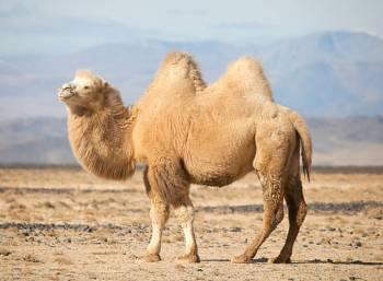 Simbolismo e significado do camelo | Espírito de camelo