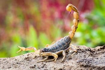 O Animal do Espírito Escorpião – Um Guia para o Significado