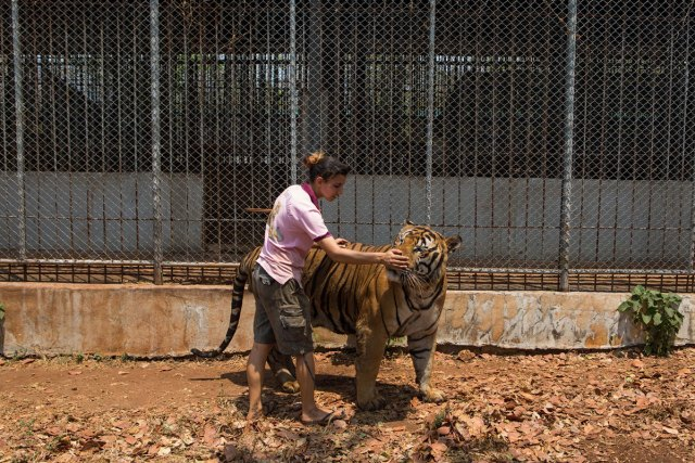 Tanya, a head volunteer caretaker at the temple since 2010, in an outdoor enclosure with Payak the tiger during the daily care and cleaning routine prior to the raid.