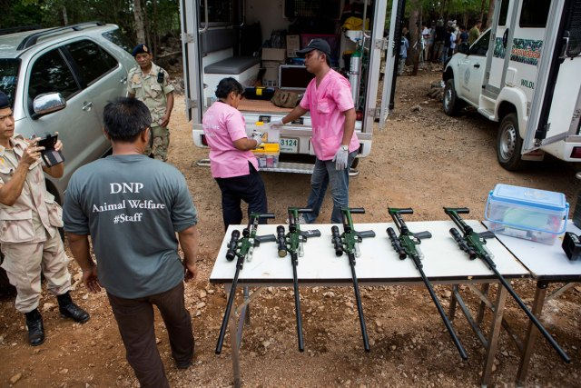 DNP prepares tranquilliser guns to sedate the tigers before removing them from the temple.