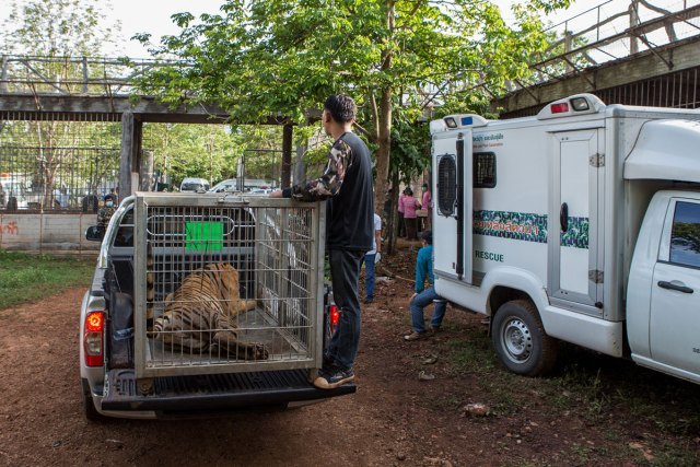 The tigers were removed from the temple, 20 per day, on trucks.