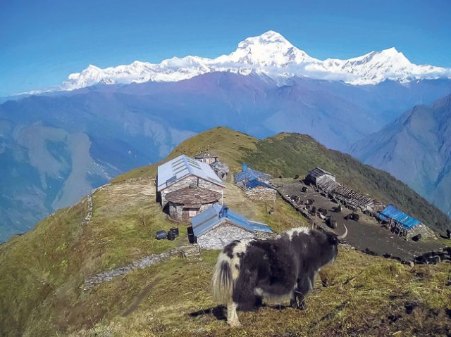 A general Yak breeding centre located at Sikh VDC. The Dhaulagiri Range can be seen in the backdrop.