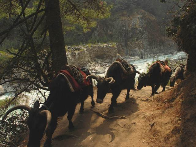 Yak and dzo trains are a common sight on the trails through Solukhumbu © Joe Bindloss / Lonely Planet