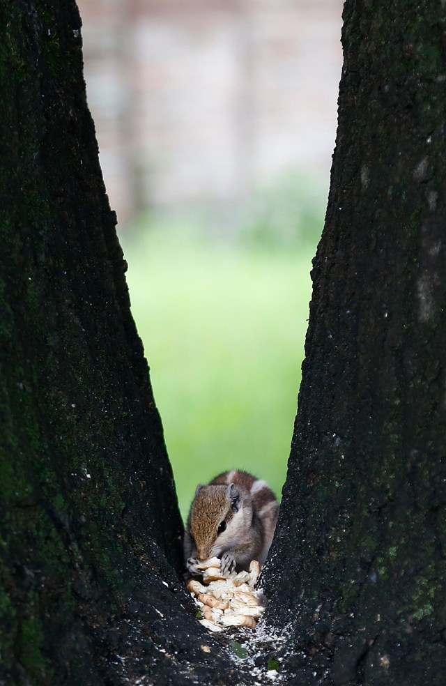 In this picture a Squirrel grabs a biscuits from a tree which was put by people at Hotel Hayat Premises on Sunday . Squirrels' diets consist primarily of a wide variety of plants, including nuts, seeds, conifer cones, fruits, fungi and green vegetation. POST PHOTO/PRAKASH CHANDRA TIMILSENA