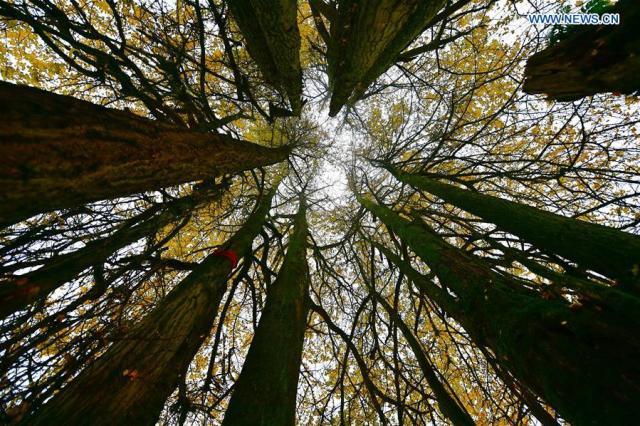 ancient-ginkgo-tree