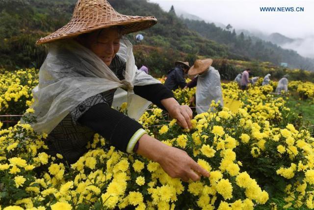 chrysanthemum-flowers6