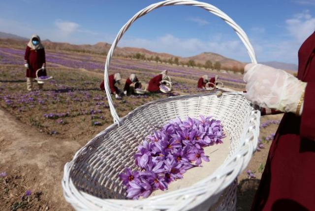 Afghan women collect saffron flowers in the Karukh district of Herat, Afghanistan, November 5, 2016. Picture taken November 5, 2016. REUTERS/Mohammad Shoib