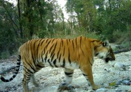 tiger census-glocalkhabar