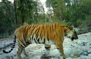 tiger census-glocalkhabar