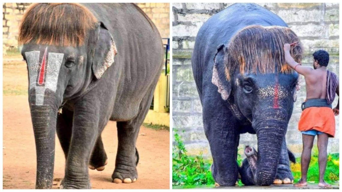 Meet 'Bob Cut' Sengamalam, An Elephant In Tamil Nadu Who'S Tamilnadu Hairstyles For Medium Hair