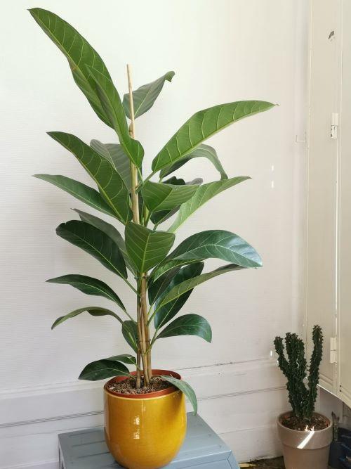 Ficus benghalensis jardinerie lyon