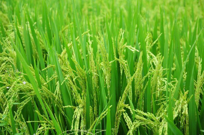 Paddy/rice fields in Wayanad