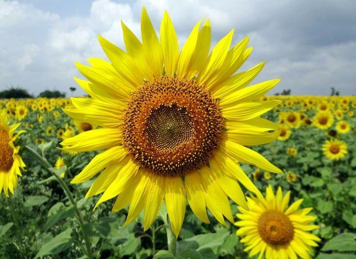 Sunflower Natural Food Market