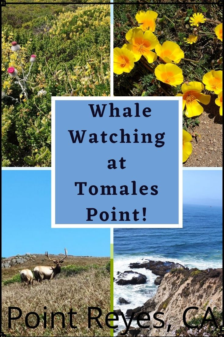 Hiking Tomales Point, a round trip of 9.4 miles of moderate hike, and the reward is views of abundant wildlife, wildflowers and at the end you can catch some awesome whale views. This trail is in the Point Reyes National Seashore in California.