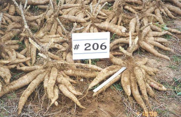 Cassava | Glory Persada Manunggal