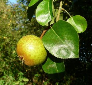 Hartpury Green Perry Pear
