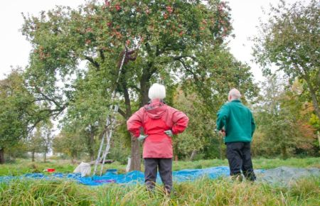 Harvesting fruit from a traditional apple orchard. Picture by Leszek Ciesiolka
