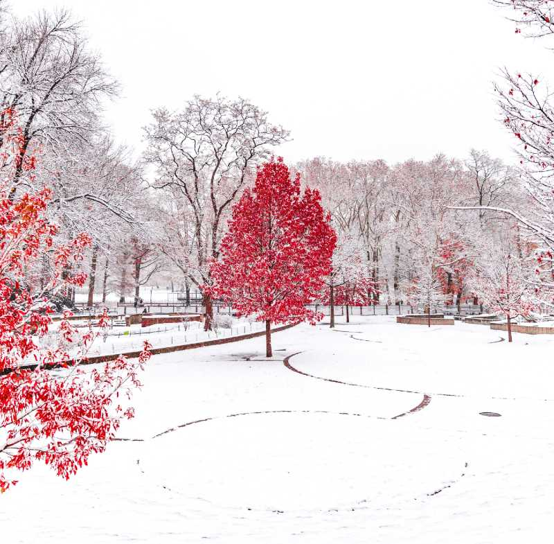 red trees in snow