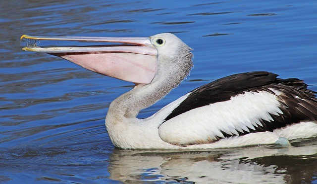 Naughty pelican bird