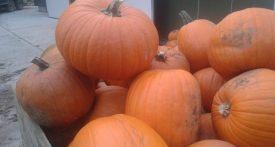 pumpkin patch cheltenham, pumpkin picking gloucestershire, where to buy pumpkins gloucestershire