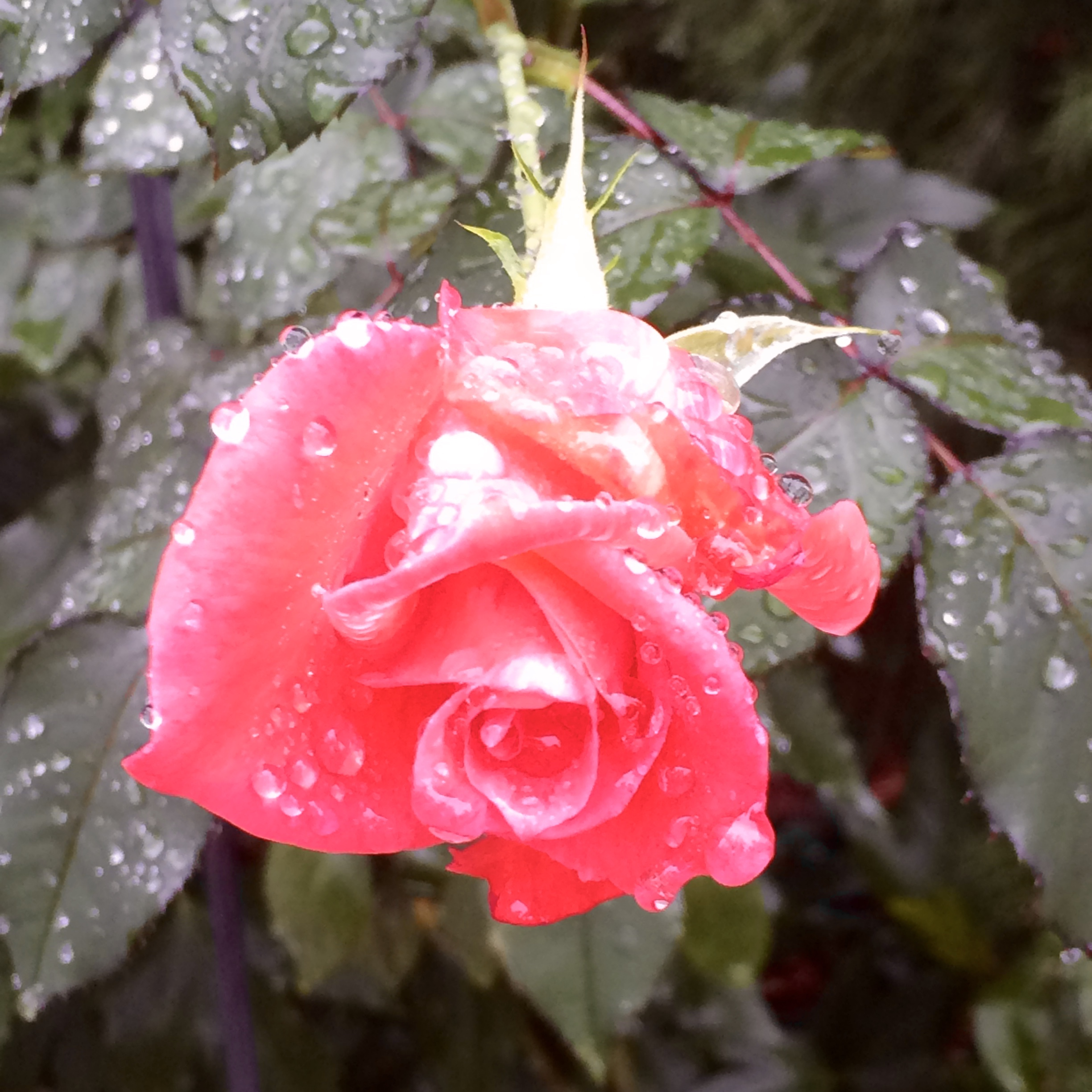 Haiku: Ode to a December Rose