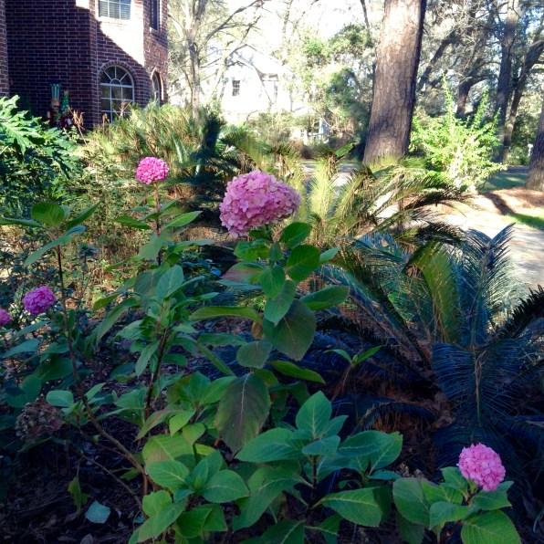 The hydrangea thinks it's summer