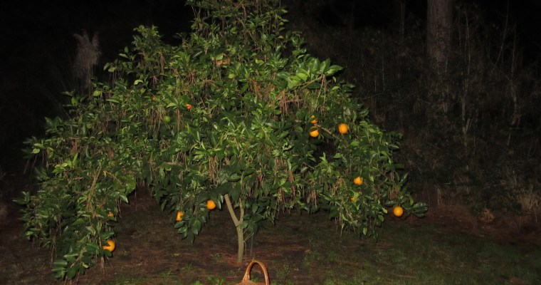 Moonlight Citrus Harvest Haiku