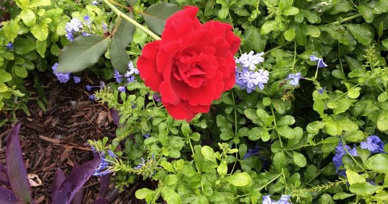 The Don Juan Rose