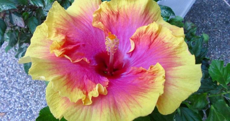 Digital Postcard: Glover Gardens Hibiscus