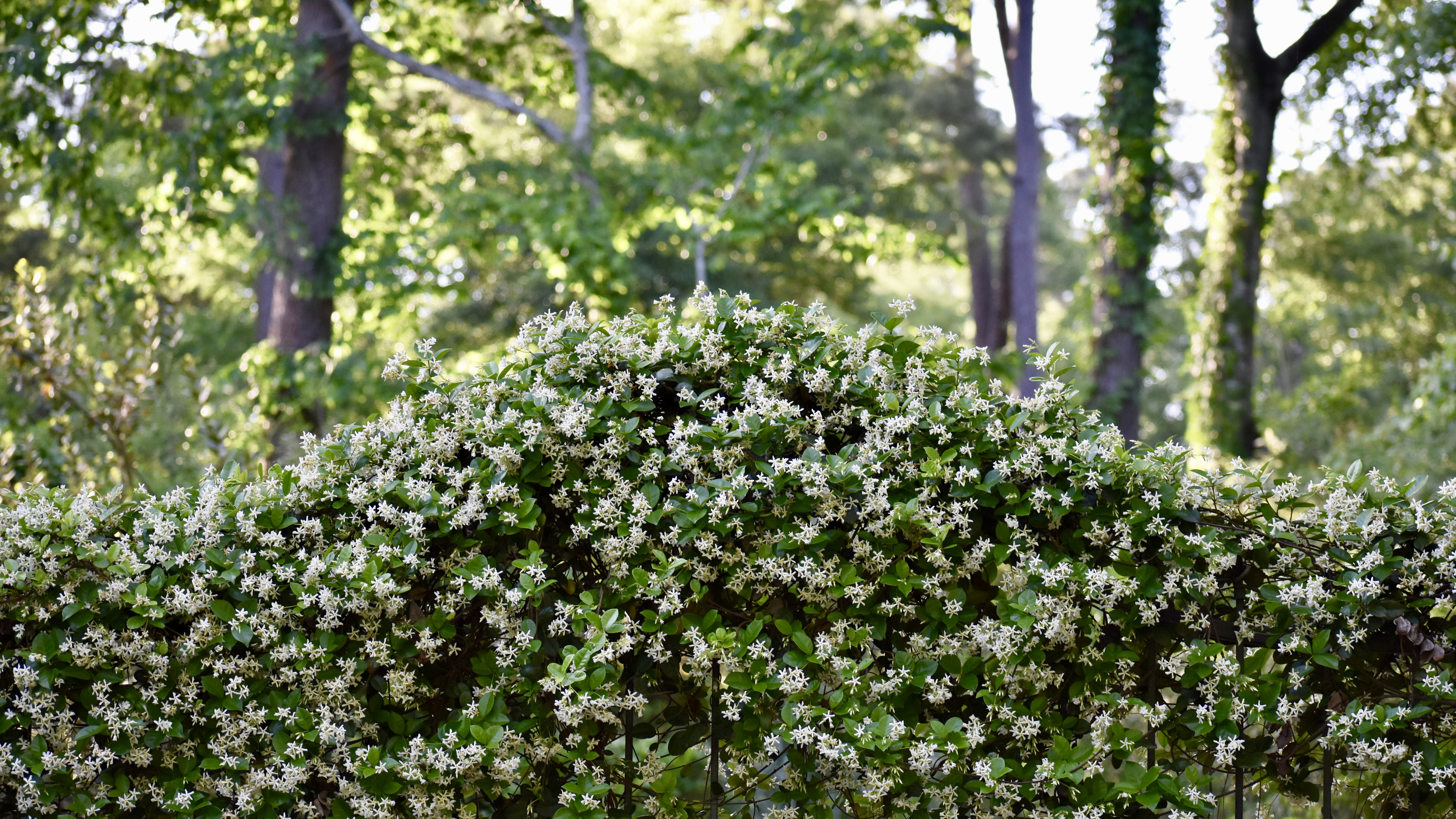 Jasmine, the Calming Smell of Spring