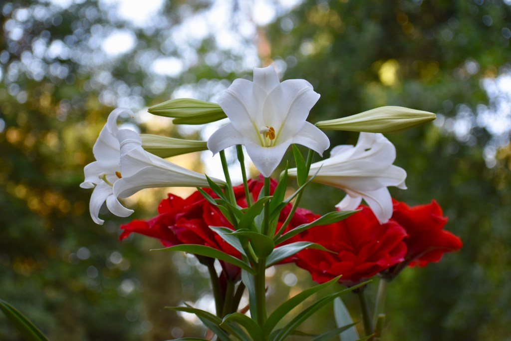 Easter lilies and amaryllis at Glover Gardens.