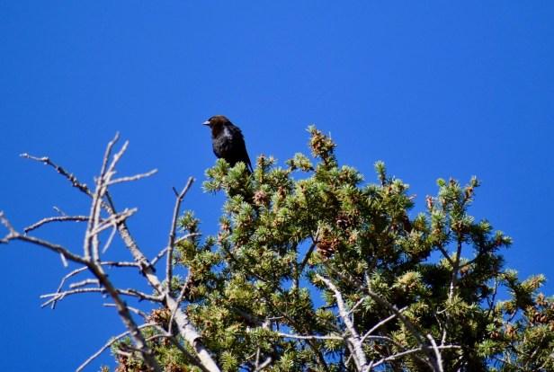 Brown-headed cowbird sentry