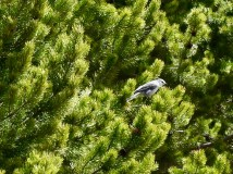 Gray Jay in a Pine Tree