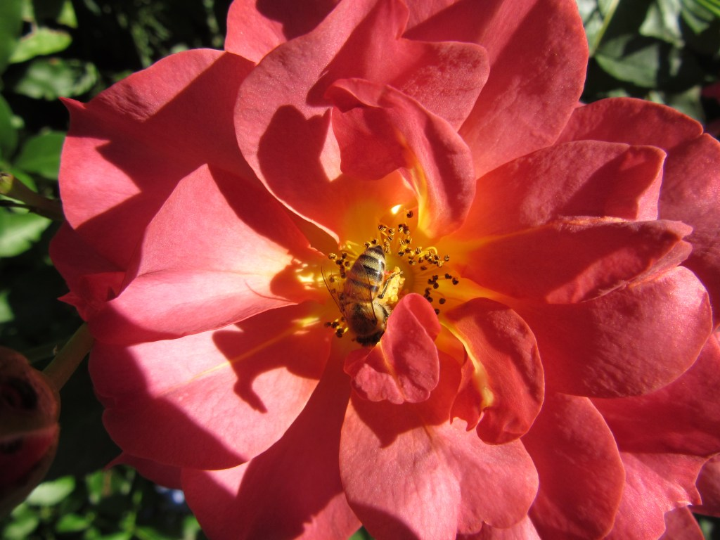 Bee on knockout rose at Glover Gardens