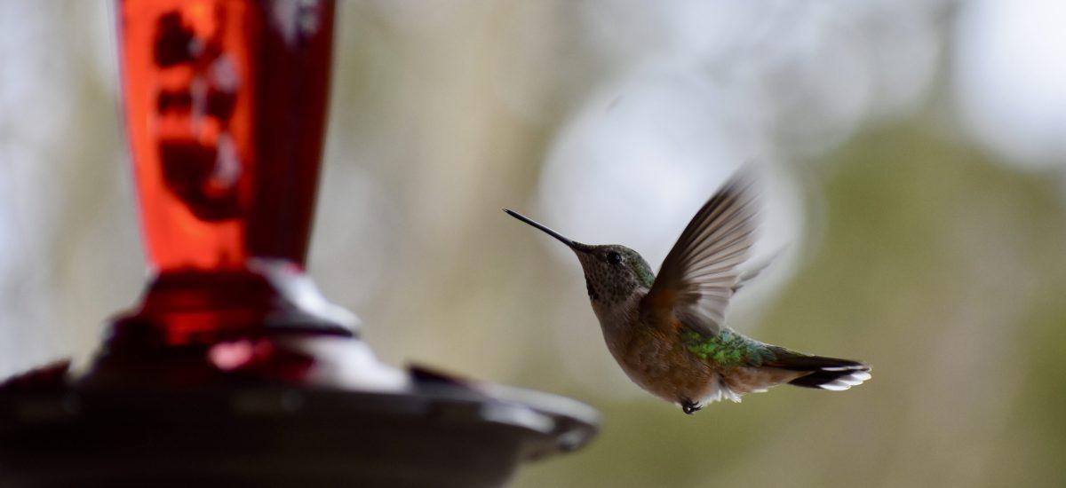 Hummingbird Haiku (Times Two)