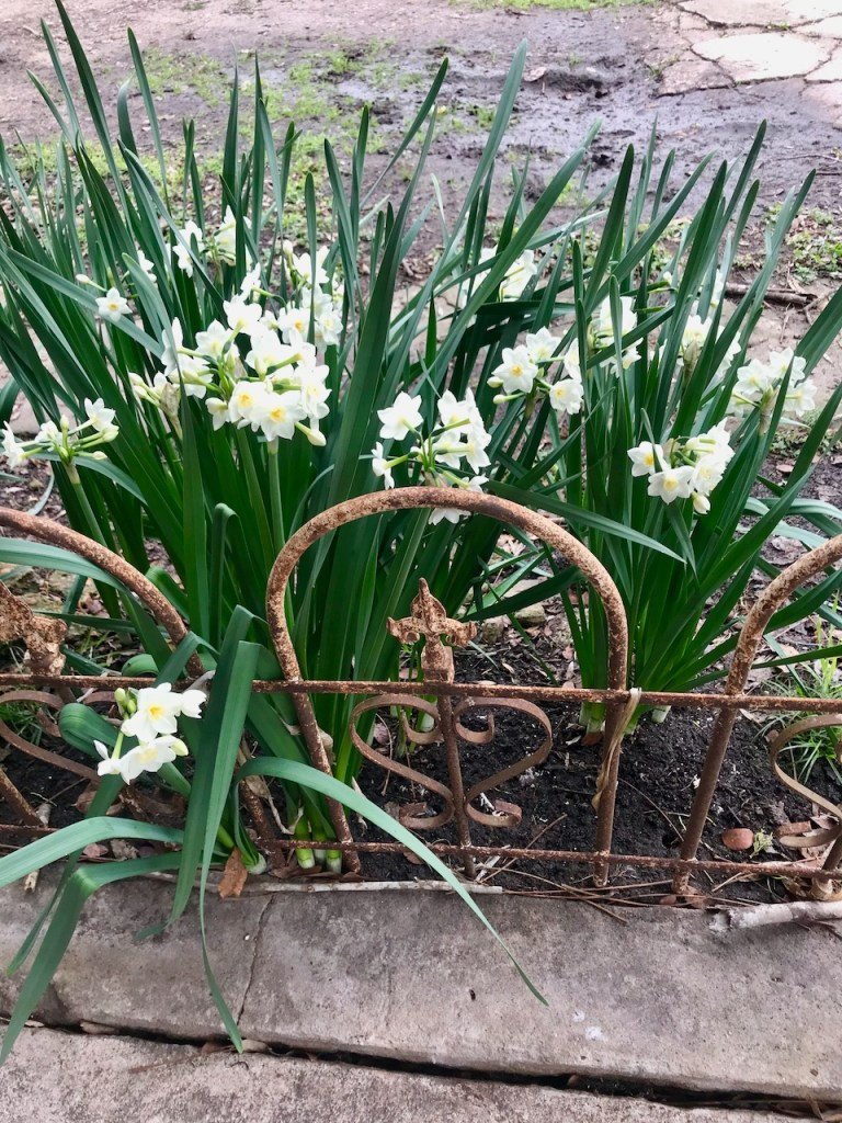 Paperwhites in bloom in January