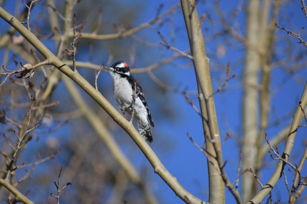Male hairy woodpecker on an aspen tree in the winter