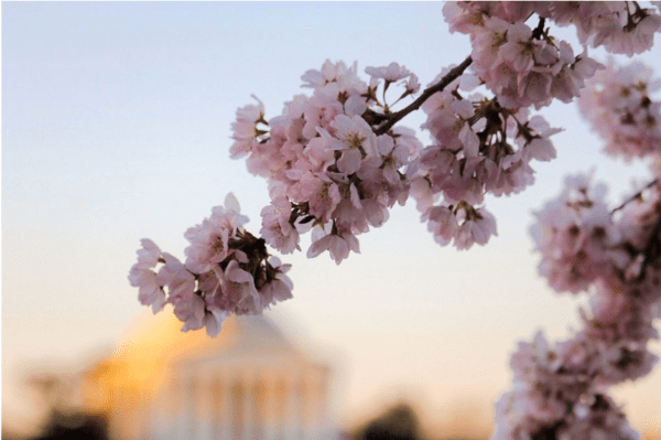 cherry blossoms washington dc photography veronica harutunian
