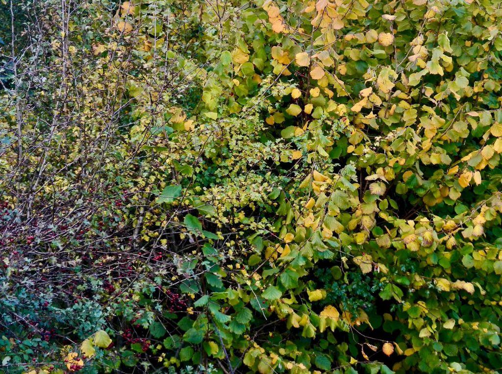 Hedgerow autumn colours