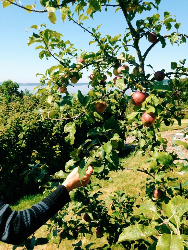 apples in Jo's garden
