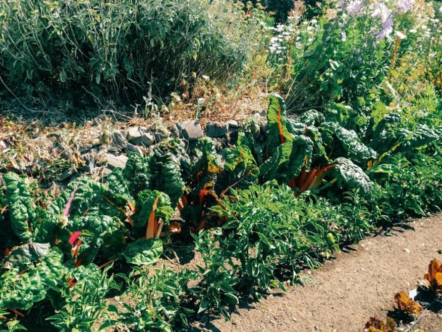 chard in Jo's garden