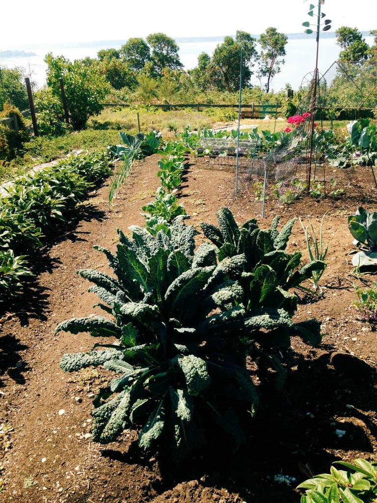 kale in Jo's garden