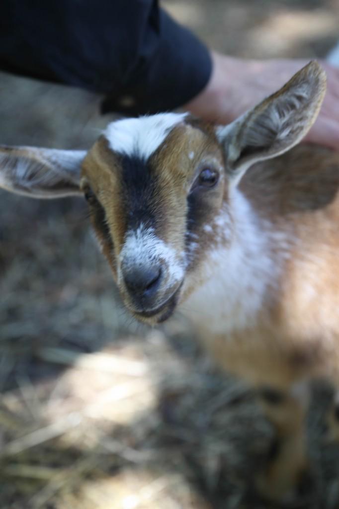 farms- goat the dairy farm